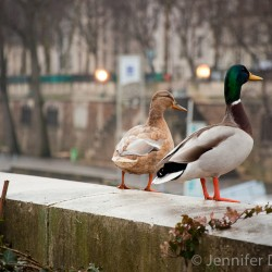 Ducks looking out over the river in Paris, France.
