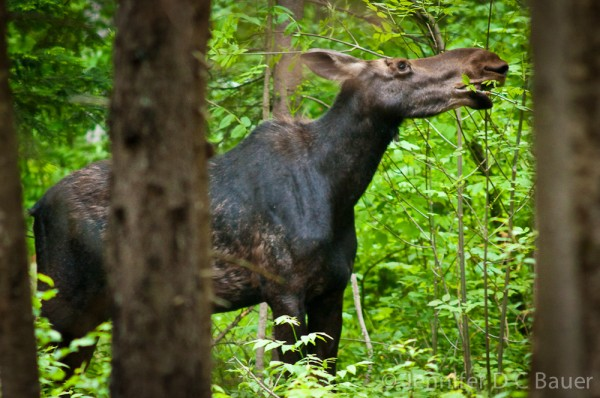 A moose on the loose at the Dolly Copp Campground in New Hampshire!