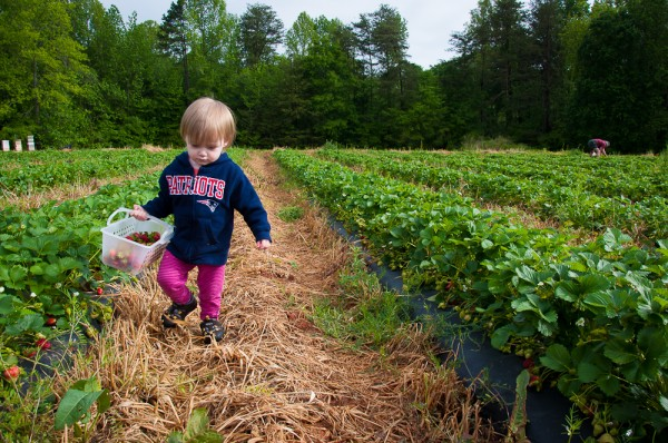 Addie carrying her strawberries at Hunter Farms in South Carolina.