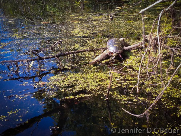 One of the many turtles we saw on the Ipswich River.