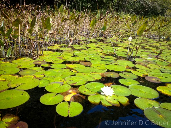 Lily pads on the Ipswich River.