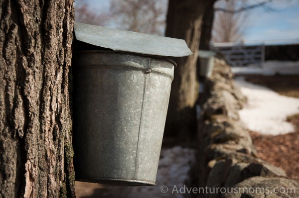 A tapped maple tree at Appleton Farms Ipswich