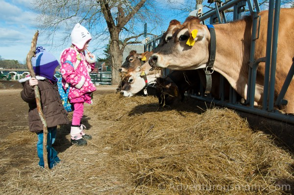 Addie and Elizabeth checking out the cows at Appleton Farms in Ipswich, MA