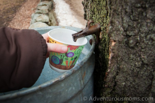 Addie collecting sap from a maple tree at Appleton Farms in Ipswich, MA