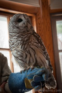 Barred Owl at the Mass Audubon Museum of American Bird Art