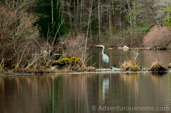 A blue heron and a duck at Harold Parker State Forest