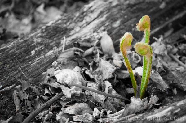 Fiddleheads on the Osgood Hill Trail in North Andover, MA