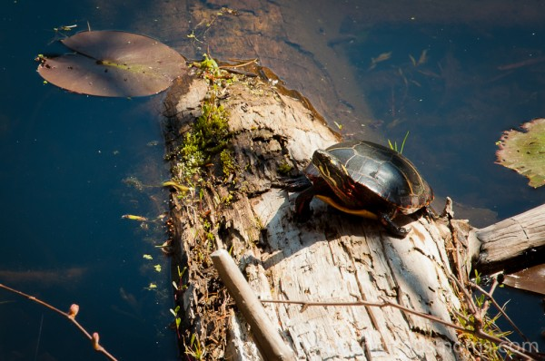 A turtle at the Ipswich River Wildlife Sanctuary