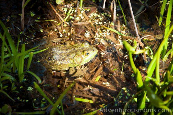 A frog at the Ipswich River Wildlife Sanctuary