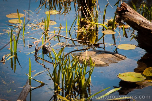 A snapping turtle at the Ipswich River Wildlife Sanctuary