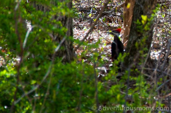 Pileated Woodpecker at the Ipswich River Wildlife Sanctuary