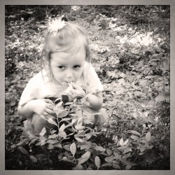 Addie foraging for blueberries at Peggy Keck Reservation, Andover, MA