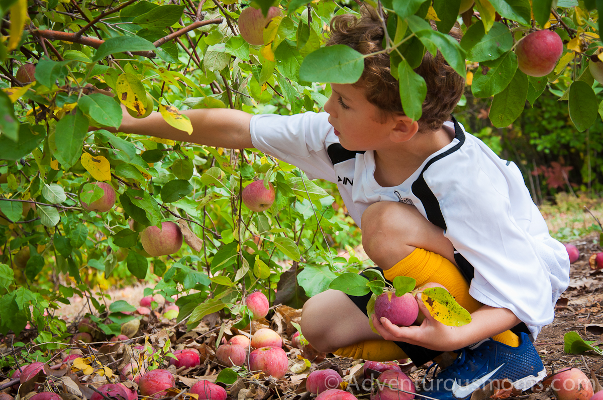images of apple picking