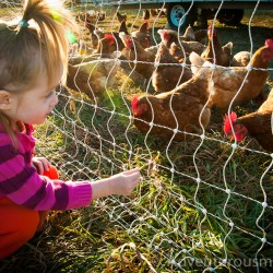 Addie feeding the hens at Appleton Farms, Ipswich, MA